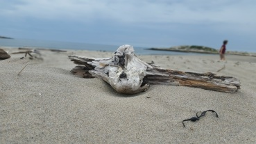 beachcombing driftwood @ popham